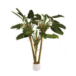 Strelicie palma, 250 cm