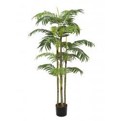 Areca palma, více kmenů, 180cm