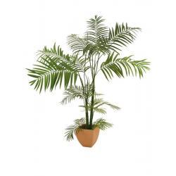 Areca palma více kmenná, 170cm